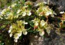 Lokalitet sa travom ivom na Ozrenu biće zaštićen od ugrožavanja