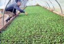 VEĆ POČELE PRIPREME ZA BAŠTU: U Semberiji krenula proizvodnja rasada povrća
